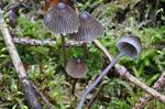 Nitrous Bonnet (Mycena leptocephala)